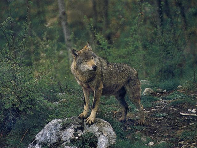 Parco Nazionale d'Abruzzo: lupo appenninico