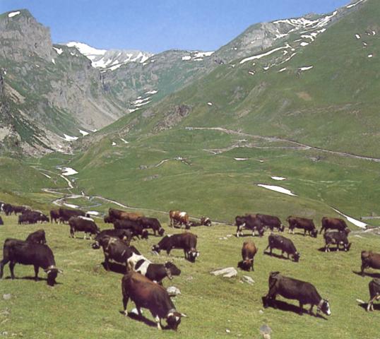 Pascoli nella valle di La Thuile (Valle d'Aosta)