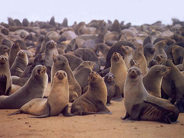 Colonia di foche, mammiferi marini della fauna polare