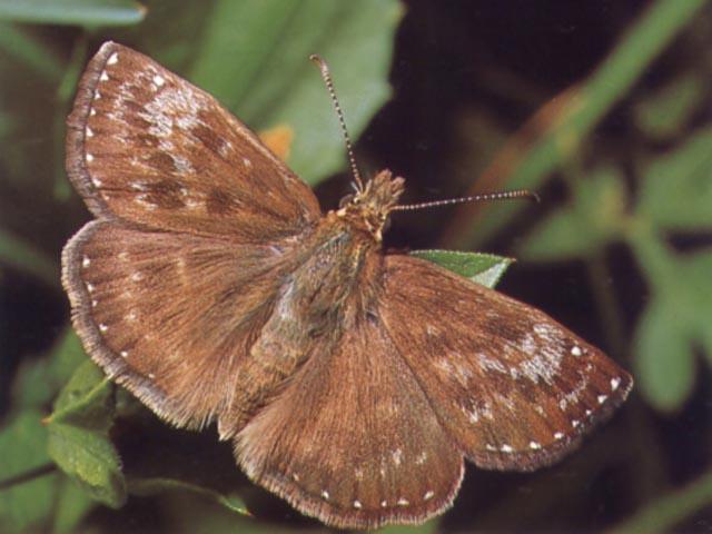 Farfalla della specie Hesperia comma