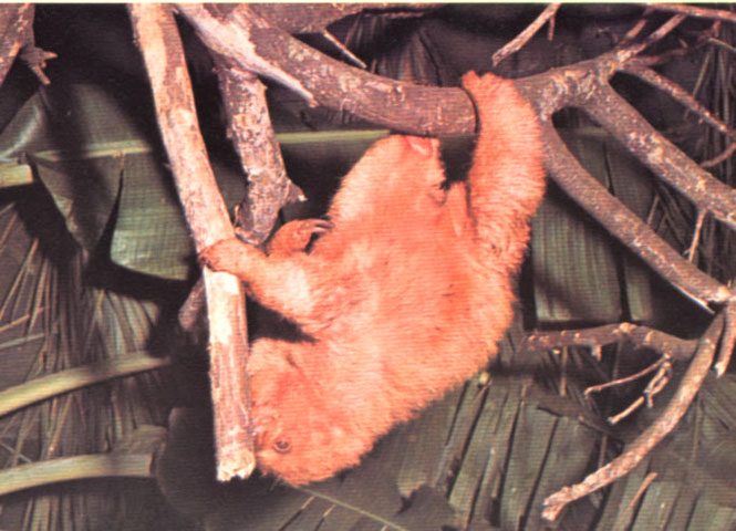 Un bradipo