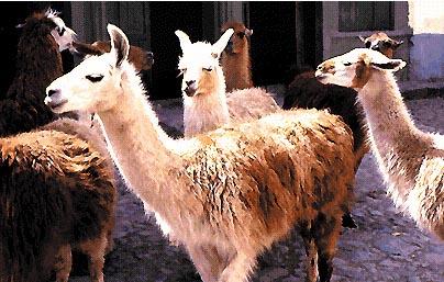 Alcuni esemplari di lama