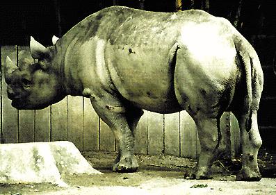 Un esemplare di rinoceronte
