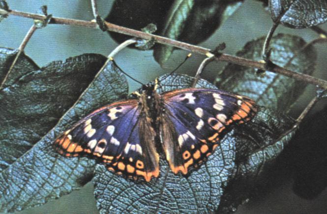 Farfalla della specie Apatura