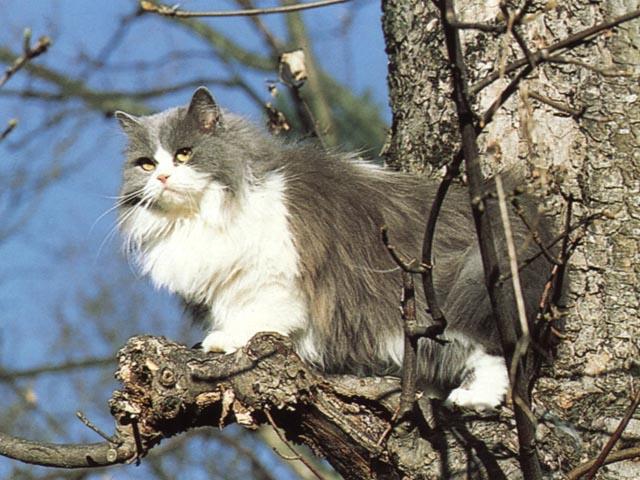Gatto persiano bicolore