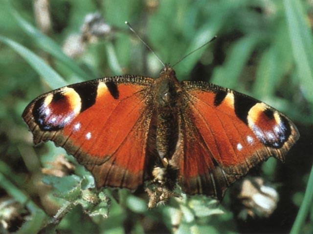 Un lepidottero Vanessa