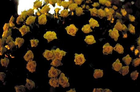 Rose Golden Time