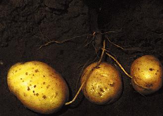 Radici tuberificanti di patata