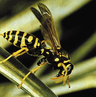 Esemplare di vespa