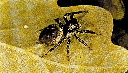 Ragno Meliophanus Kochi