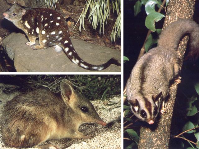 Marsupiali: dasiuro gigante, peramele, scoiattolo volante dello zucchero