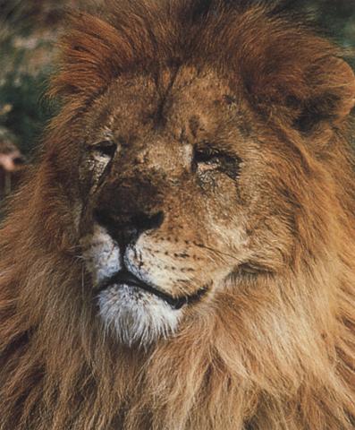 Esemplare di leone maschio