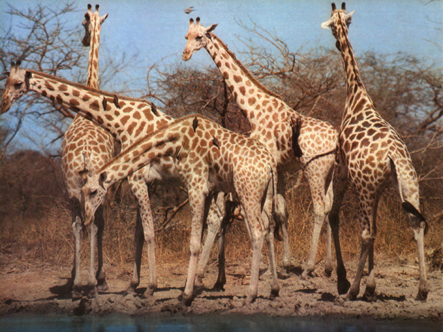 Un gruppo di giraffe