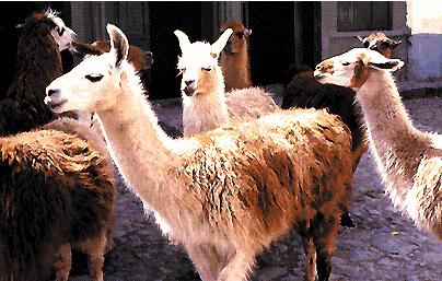 Alcuni lama