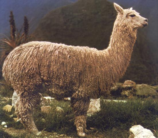 Alpaca o Paco (Lama pacos)