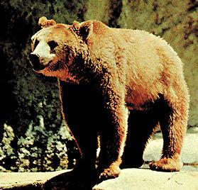 Un esemplare di orso bruno
